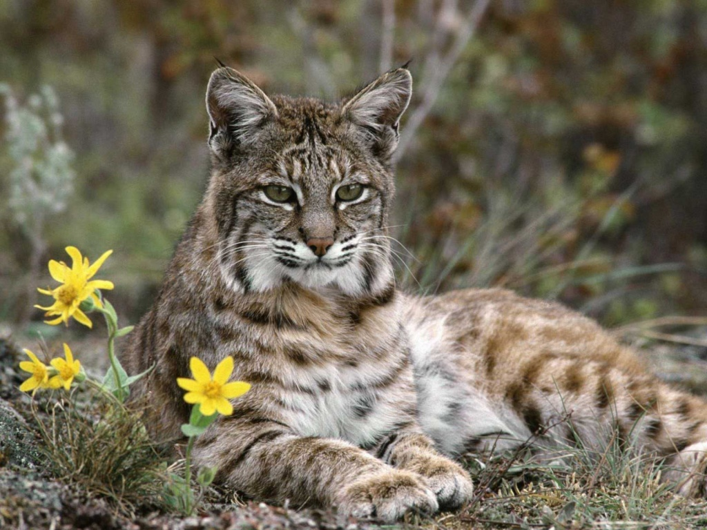 Lynx  Wikipedia